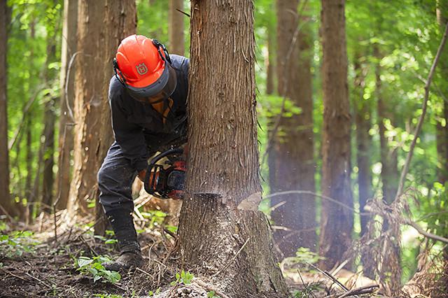 間引くための伐採